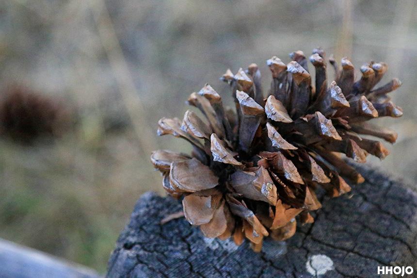 day13_yosemite_pine_cones_img